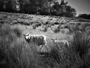 Sheep grazing at nearby Abbeystead